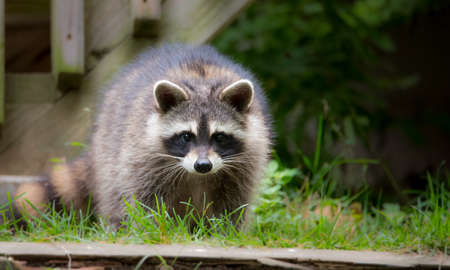 Raccoon (Procyon lotor(s) in the woods at a feeder.  Smart young animals playfully but shyly make an appearance from the wood. Raccoons are a member of Carnivora order of mammals. Their family is the Procyonidae,