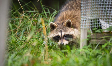 tenacious: Raccoons (Procyon lotor(s) in the woods at a feeder.  Smart young animals playfully but shyly make an appearance from the wood. Raccoons are a member of Carnivora order of mammals. Their family is the Procyonidae,