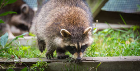 raccoons: Raccoon (Procyon lotor(s) in the woods at a feeder.  Smart young animals playfully but shyly make an appearance from the wood. Raccoons are a member of Carnivora order of mammals. Their family is the Procyonidae,