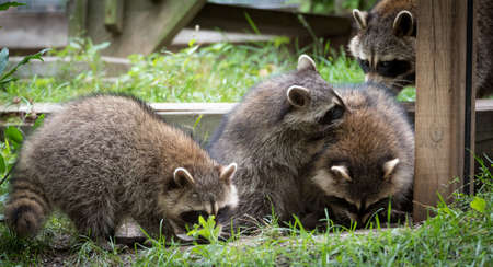 adaptable: Young members of raccoon (Procyon lotor) family playing, establishing pecking order, grooming one another and playing, search for food and treats near a bird feeder in Eastern Ontario.