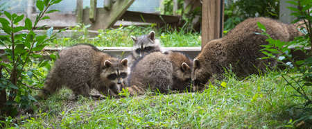 tenacious: Young members of raccoon (Procyon lotor) family playing, establishing pecking order, grooming one another and playing, search for food and treats near a bird feeder in Eastern Ontario.