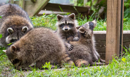 establishing: Young members of raccoon (Procyon lotor) family playing, establishing pecking order, grooming one another and playing, search for food and treats near a bird feeder in Eastern Ontario.
