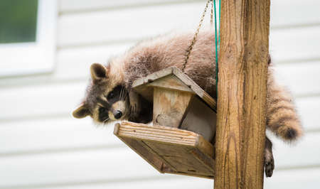 omnivore animal: Raccoon (Procyon lotor) on a bird feeder, eastern Ontario.  Masked mammal has a bit of fun while he looks for and finds an easy meal.  Friendly animal lovers helping the woodland critters.