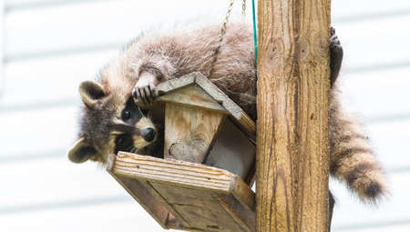 procyon: Raccoon (Procyon lotor) on a bird feeder, eastern Ontario.  Masked mammal has a bit of fun while he looks for and finds an easy meal.  Friendly animal lovers helping the woodland critters.
