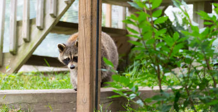 Raccoons (Procyon lotor(s) in the woods at a feeder.  Smart young animals playfully but shyly make an appearance from the wood.  Member of Carnivora order of mammals. Their family is Procyonidae, Stock Photo