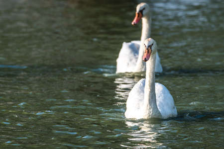 Mating pair of young white Mute swans (Cygnus olor) swim gracefully around in morning sunlight in a woodland pond. Stock Photo