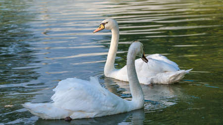 cygnus olor: Mating pair of young white Mute swans (Cygnus olor) swim gracefully around in morning sunlight in a woodland pond. Stock Photo