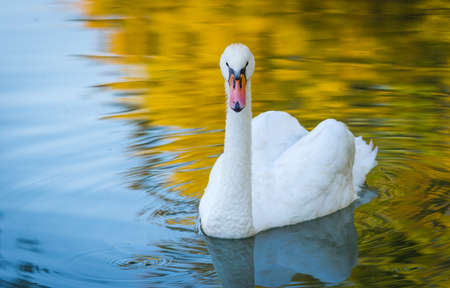 Graceful white Mute swan (Cygnus olor) in morning sunlight as he swims about with a mate nearby in a woodland pond.