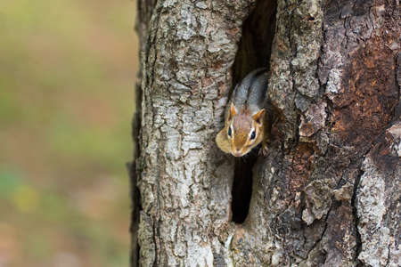 Eastern Chipmunk (Tamias), smallest member of the squirrel family comes comes out of hiding in his hole in a maple tree,
