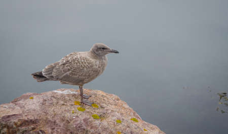 newfoundland: Brownish coloured juvenile, Western (Larus occidentalis) seagull standing atop of a rock on shore, looking and waiting for a breakfast opportunity.   A common bird in Atlantic Canada.