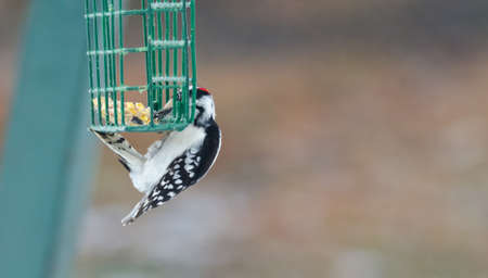 Downy woodpecker - Picoides pubescens -  hangs on a feeder cage and has a nibble to eat.  Marked by red crown white spotted feathers on wing, can be seen throughout most of North America.