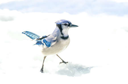 Blue Jay with attitude, (Cyanocitta cristata) handsome specimen, straddle, standing akimbo alertly in crystal snow.