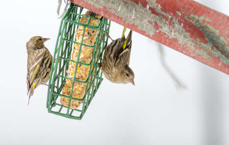 territorial: Pine Siskin finches (Carduelis pinus) - in spring competing for space and food at a feeder.  Aerobatic displays and territorial squabbling at a feeder in a northern Ontario woods.