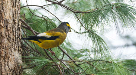 Yellow, black & white colored Evening Grosbeak (Coccothraustes vespertinus) on a tree branch.  Heavyset finch in northern coniferous forests, adds a splash of color to winter every few years. Stock Photo