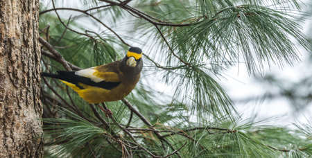 Yellow, black & white colored Evening Grosbeak (Coccothraustes vespertinus) on a tree branch.  Heavyset finch in northern coniferous forests, adds a splash of color to winter every few years. 版權商用圖片