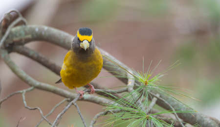 adds: Yellow, black & white colored Evening Grosbeak (Coccothraustes vespertinus) on a tree branch.  Heavyset finch in northern coniferous forests, adds a splash of color to winter every few years. Stock Photo