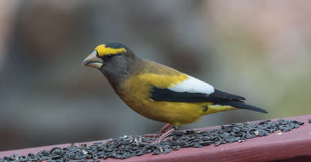 adds: Yellow branded Evening Grosbeaks (Coccothraustes vespertinus)  on a deck having seed lunch. Heavyset finch in northern coniferous forests, adds splash of color to winter bird feeders every few years. Stock Photo