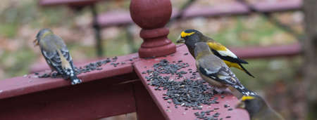 Yellow branded Evening Grosbeaks (Coccothraustes vespertinus)  on a deck having seed lunch. Heavyset finch in northern coniferous forests, adds splash of color to winter bird feeders every few years. 版權商用圖片