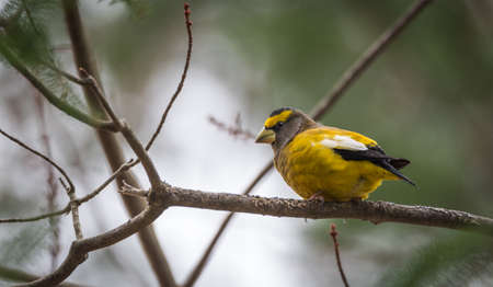 adds: Yellow, black & white colored Evening Grosbeak (Coccothraustes vespertinus) on a tree branch.  Heavyset finch in northern coniferous forests, adds a splash of color to winter every few years
