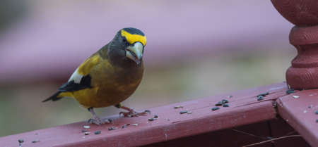adds: Yellow branded Evening Grosbeaks (Coccothraustes vespertinus)  on a deck having seed lunch. Heavyset finch in northern coniferous forests, adds splash of color to winter bird feeders every few years, Stock Photo