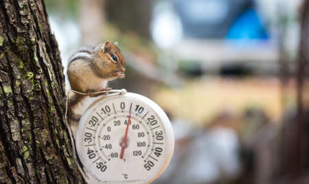 Chipmunk (Tamias), sits up, on top of an outdoor thermometer. A curious chipmunk (tamias) sits up on top of dial indicator in cool shade.  Small squirrel paused on an outdoor thermometer.