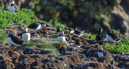 web footed: Atlantic puffin (Fratercula arctica) going about their business, making nests and new puffins as they return in summer to mate on one of the bird islands in Elliston, Newfoundland.