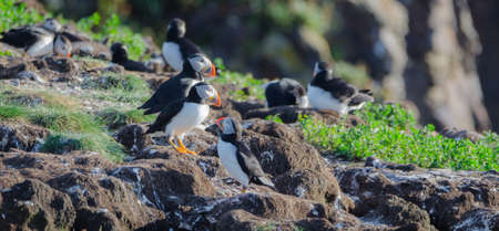 arctica: Atlantic puffin (Fratercula arctica) going about their business, making nests and new puffins as they return in summer to mate on one of the bird islands in Elliston, Newfoundland.