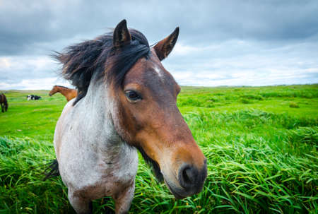 Painted, multi-toned coloured horse comes up close to camera.  Lush green field of grass, overcast day, horses mane blows in the breeze.