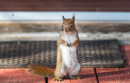 Endearing, springtime Red squirrel, close up, standing up on a deck near a welcome mat, paws tucked to chest.