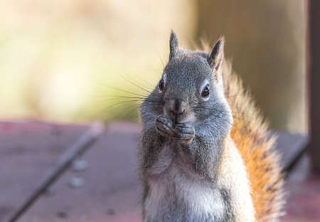 Endearing red squirrel, close up, looking at camera, sitting up on a deck, eating seeds and feeding. Stock Photo