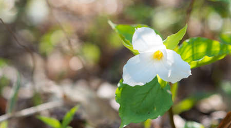 trillium: White petals of the large flowered White Trillium (Trillium grandiflorum).   Provincial flower of Ontario blooms in a woodland in springtime month of May. Stock Photo