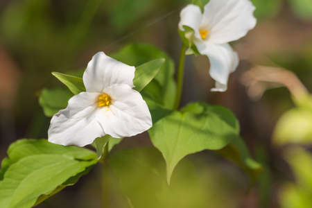 tentative: White petals of the large flowered White Trillium (Trillium grandiflorum).   Provincial flower of Ontario blooms in a woodland in springtime month of May. Stock Photo