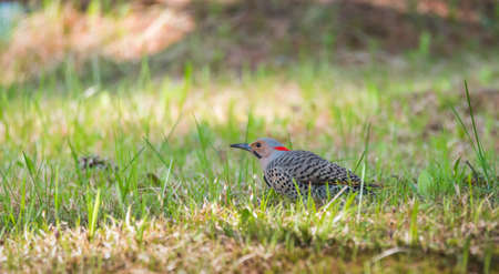 Happy North American Yellow Shafted Flicker - Colaptes auratus -  on the woodland floor in spring hunting for grubs in the ground.