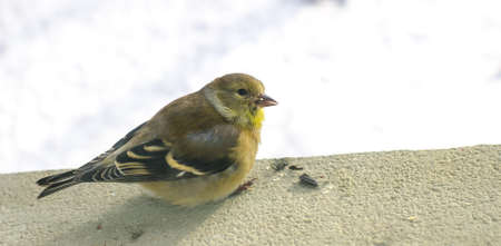 female goldfinch on a window sill, close up, photographed through the window, she looks at camera as she eats a sunflower seed.