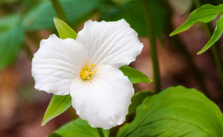 White petals of the large flowered White Trillium (Trillium grandiflorum).   Provincial flower of Ontario blooms in a woodland in springtime month of May. Stock Photo