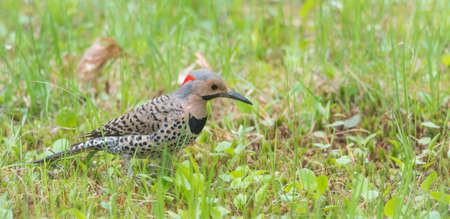 flick: North American Yellow Shafted Flicker, Colaptes auratus,  on springtime meadow hunting grubs.   Woodpecker by name, this bird prefers to peck & flick soil as it hunts, earning it its nickname.