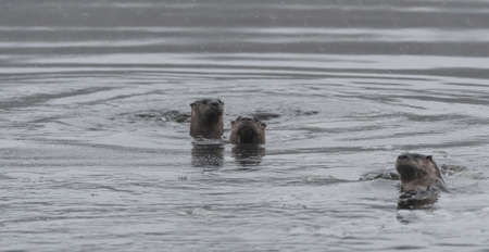 frolicking: Three North American river otters (Lontra canadensis) swimming and fishing in the wild.  Last hunt before lake freezes for winter. Stock Photo
