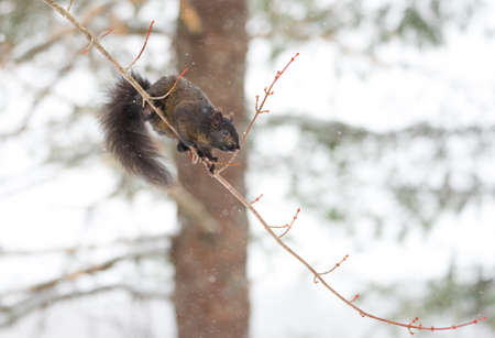 antics: Peculiar female specimen of common Black, grey squirrel as she shows off acrobatic ability to balance on a light thin branch as she looks to jump.