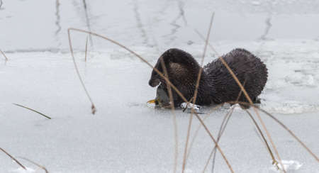 frolicking: North American river otter (Lontra canadensis) in the wild.  Water mammal with wet fur, pops up out of an Eastern Ontario lake of ice & spring corn snow while eating a fresh frozen fish.