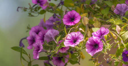 Lovely Springtime lavender pink trailing petunias in full bloom, glowing in soft sunlight in a hanging flower pot.