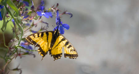 Eastern Tiger Swallowtail - (Papilio glaucus) with bright yellow and black but damaged wings, appears no less for the wear as the butterfly flits from flower to flower collecting nectar. Stock Photo