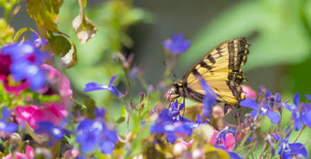Eastern Tiger Swallowtail - (Papilio glaucus) with bright yellow and black and flits from flower to flower collecting nectar.
