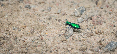 cicindela: Metallic Green Six spotted Tiger beetle - (Cicindela sexguttata).  Makes his way along a sandy part of woodland floor, hunting for insects.