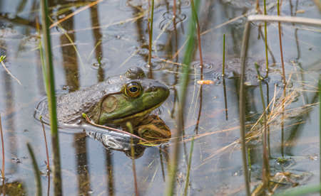 Springtime, big green bullfrog partially submerged in a pond waiting patiently for prey.   Blood sucking insects take advantage of the still animal, their tiny bodies swollen with a blood meal. Stock Photo