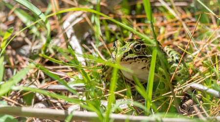 Common spotty green Northern leopard frog.  A summers day finds this amphibian animal sitting in the grass and warming in the sun. Stock Photo