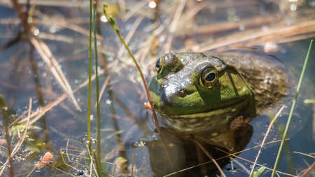 Springtime, big green bullfrog partially submerged in a pond waiting patiently for prey.