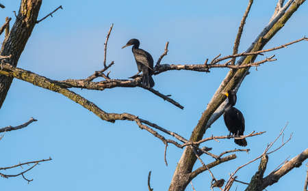 A pair of large black double-crested cormorant (Phalacrocorax auritus), waterbirds sporting orange tipped hooked bills, these cormorants can be found in eastern Ontario in early springtime and summer.