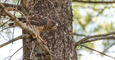 devouring: Predatory, Red-Tail Hawk.  Lands on tree branch, eats a frog he caught.  Dramatic and graphic depiction of predatory bird eating its prey, tearing of flesh and natural food chain. Stock Photo