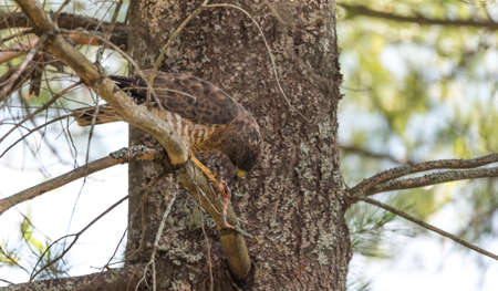 redtail: Predatory, Red-Tail Hawk.  Lands on tree branch, eats a frog he caught.  Dramatic and graphic depiction of predatory bird eating its prey, tearing of flesh and natural food chain. Stock Photo