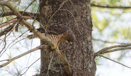 food chain: Predatory, Red-Tail Hawk.  Lands on tree branch, eats a frog he caught.  Dramatic and graphic depiction of predatory bird eating its prey, tearing of flesh and natural food chain. Stock Photo